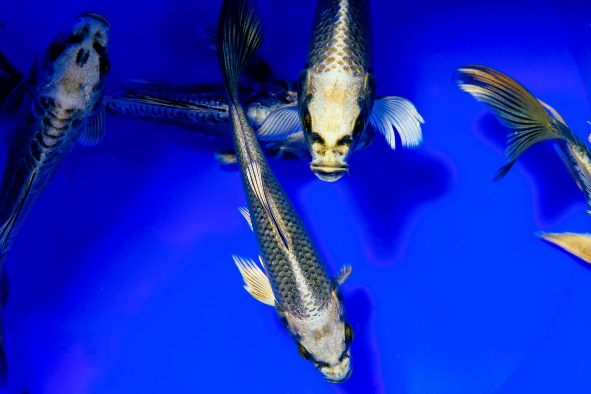 Freshwater Fish Populations Continue Decline